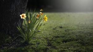 daffodils-455359_1920