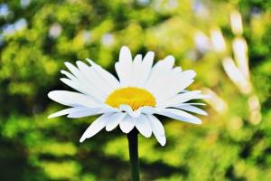 daisy-912144_1280