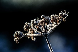 frostyflower-522511__180